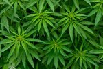 В Железнодорожном будут судить подозреваемого в хранении и изготовлении марихуаны